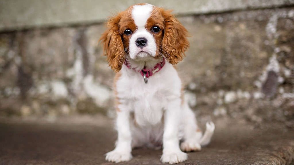 Cavalier King Charles Spaniel For Sale Nyc Central Park Puppies